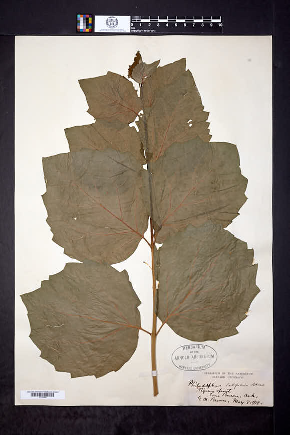 Image of Philadelphus latifolius
