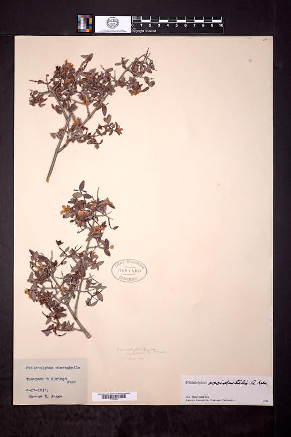 Philadelphus occidentalis image