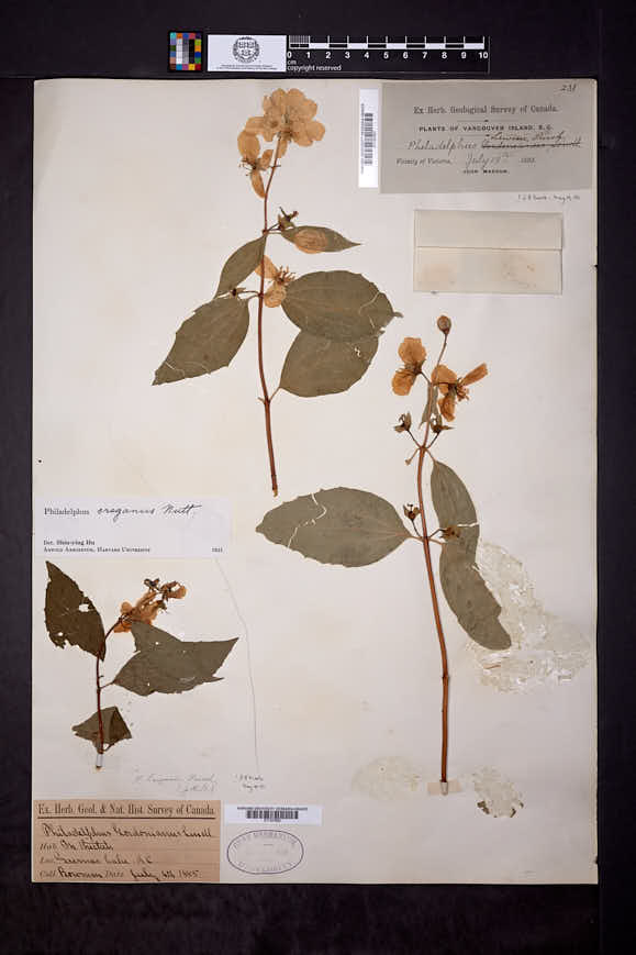 Image of Philadelphus oreganus