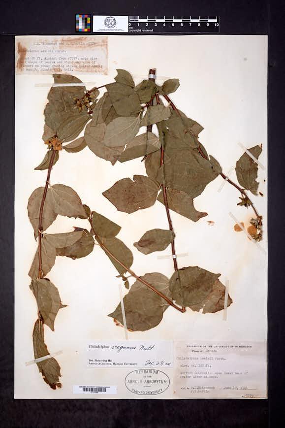 Philadelphus oreganus image