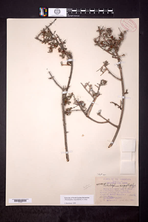 Philadelphus serpyllifolius image