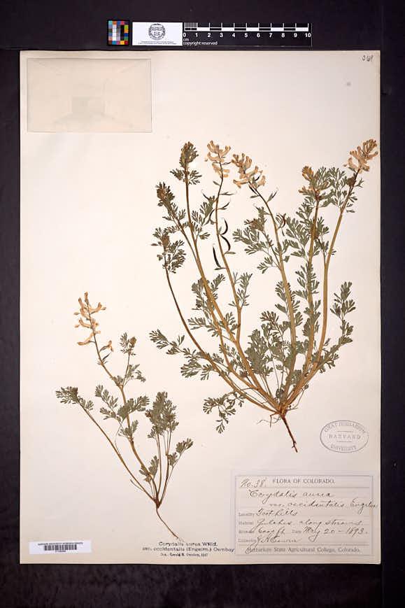 Corydalis aurea subsp. occidentalis image