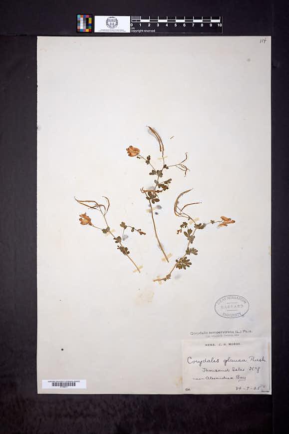 Capnoides sempervirens image