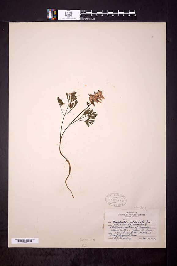Corydalis solida image