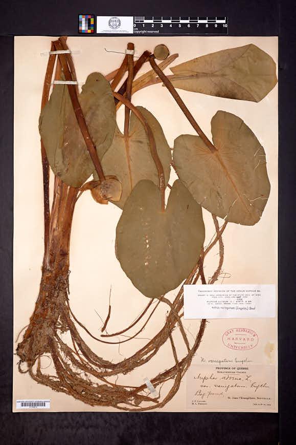 Nuphar variegata image
