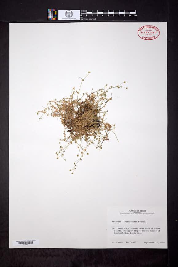 Image of Arenaria livermorensis