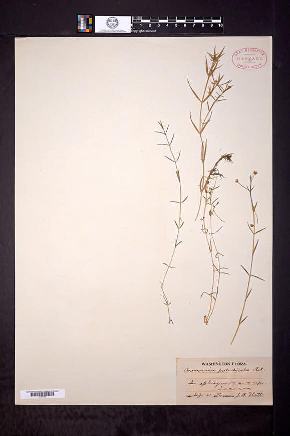 Mononeuria paludicola image