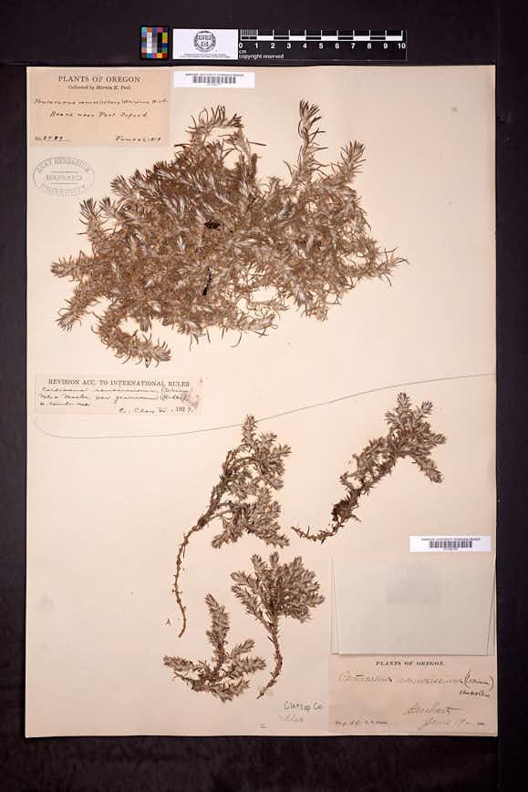 Cardionema ramosissimum image