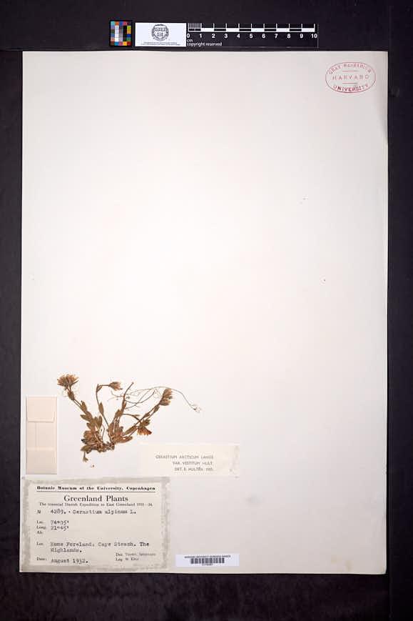 Cerastium arcticum image