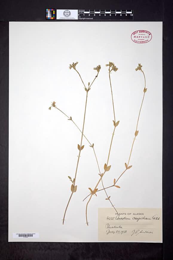 Cerastium caespitosum image