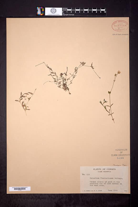 Cerastium cerastoides image