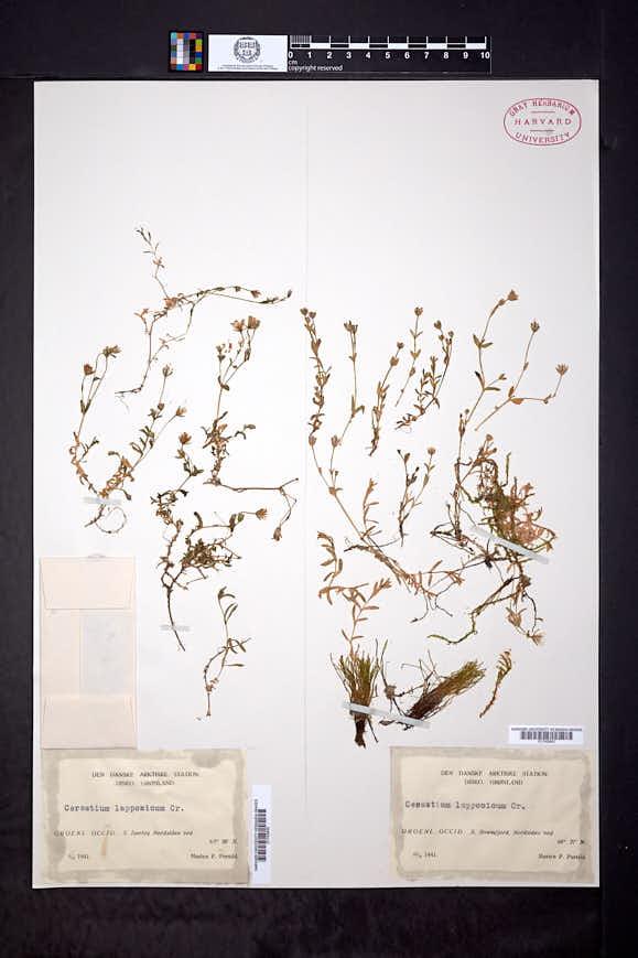 Cerastium lapponicum image