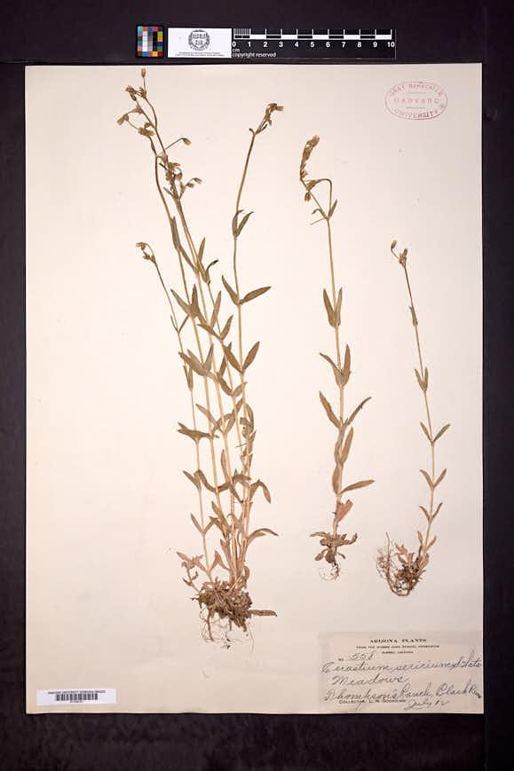 Cerastium nutans var. obtectum image