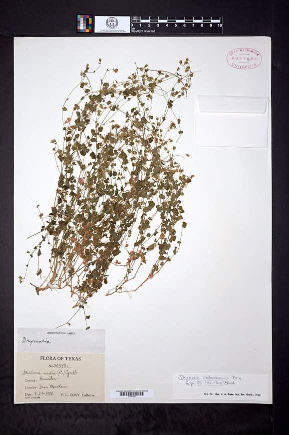 Drymaria laxiflora image