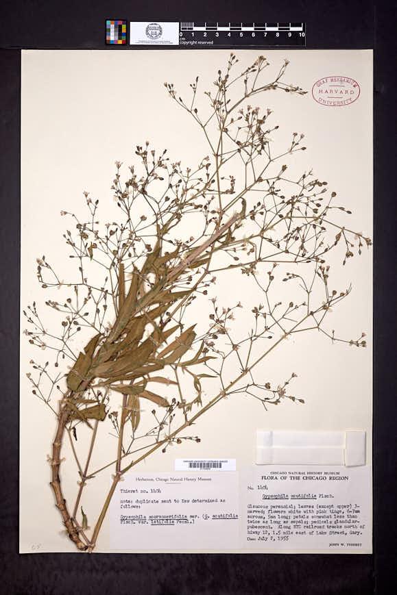 Gypsophila scorzonerifolia image