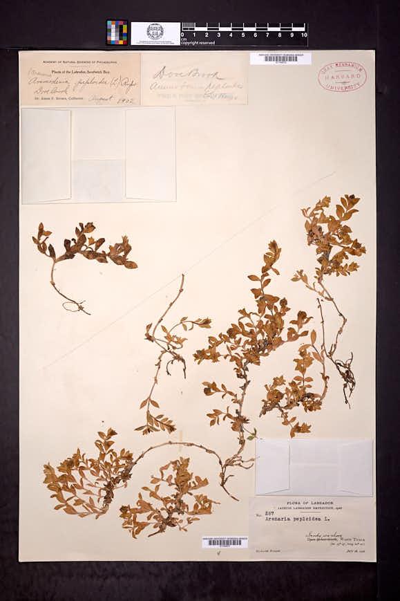 Honckenya peploides image