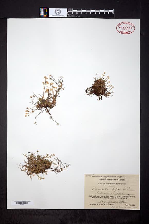 Cherleria biflora image