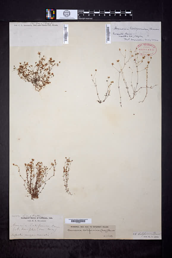 Sabulina californica image