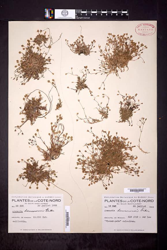 Sabulina dawsonensis image