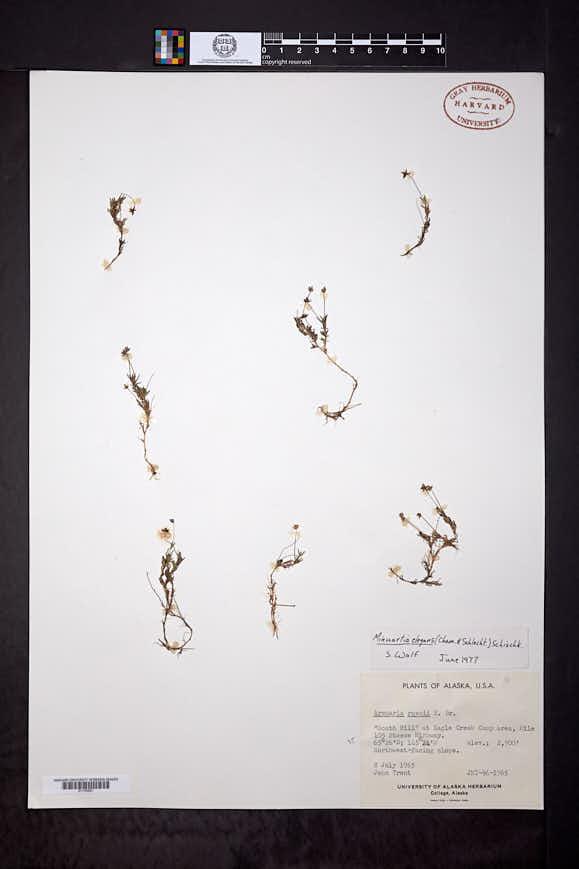 Sabulina elegans image