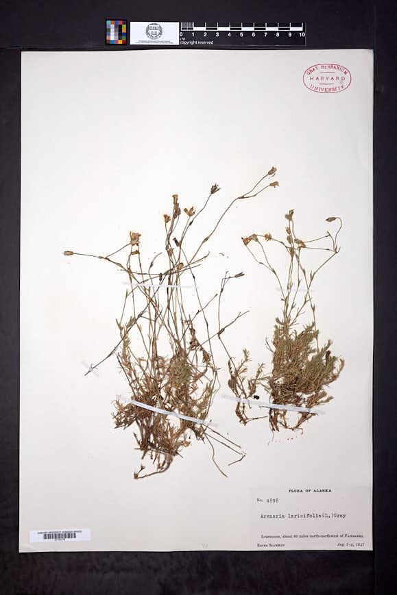 Cherleria laricifolia image