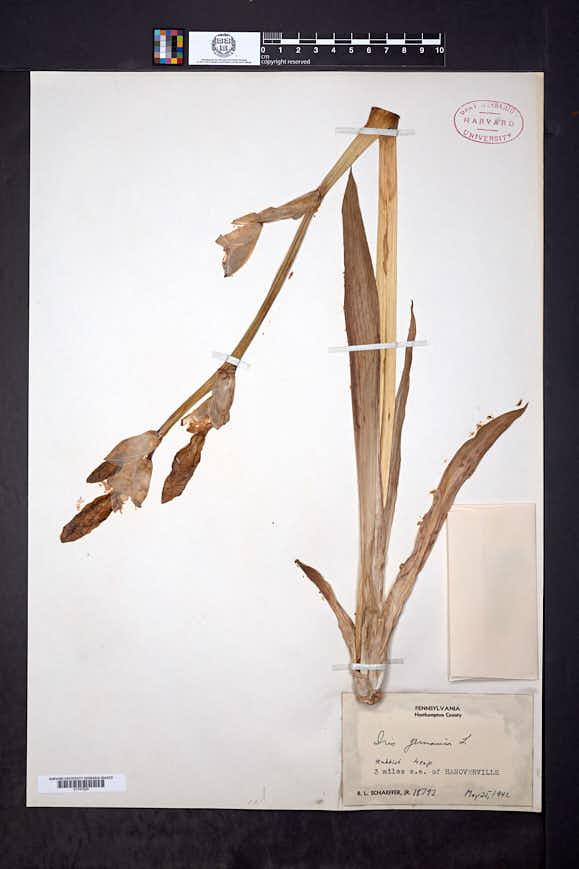 Iris germanica image