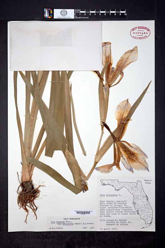 Iris giganticaerulea image