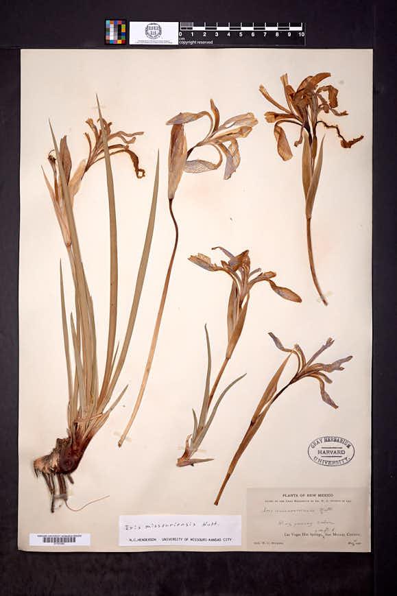 Iris missouriensis image