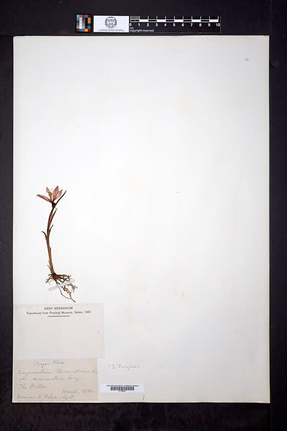 Olsynium douglasii image