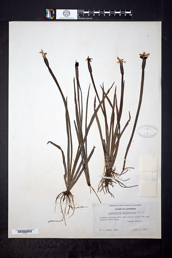 Sisyrinchium californicum image