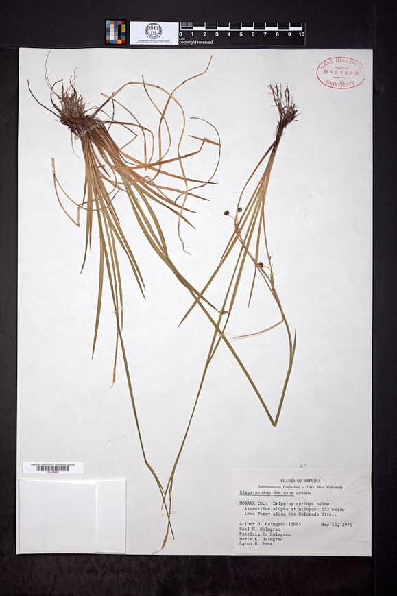 Sisyrinchium demissum image