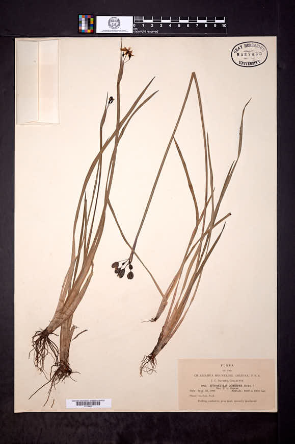 Sisyrinchium longipes image
