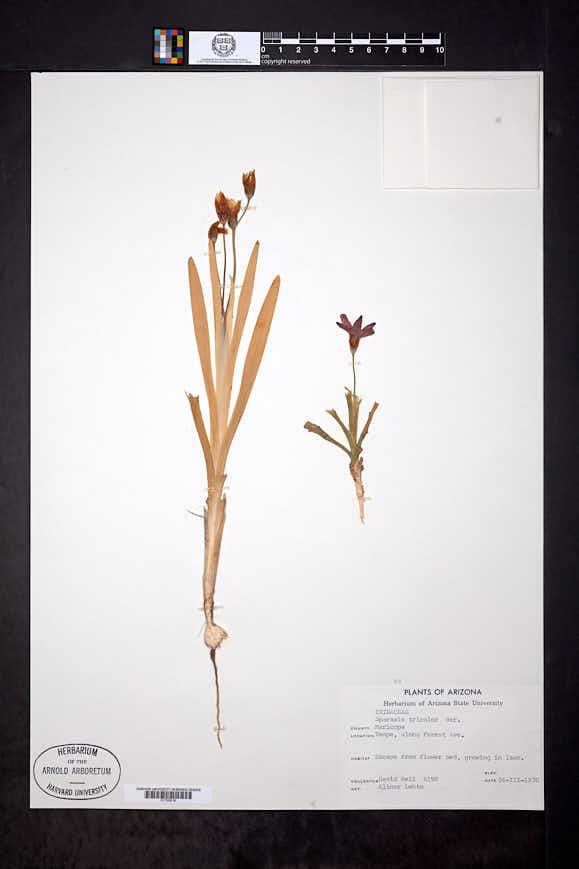 Sparaxis tricolor image