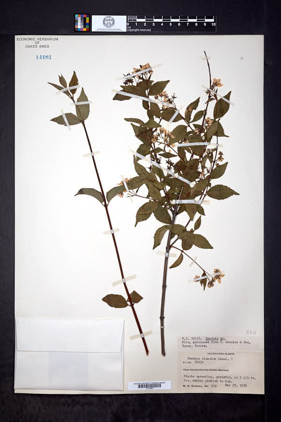 Image of Deutzia discolor