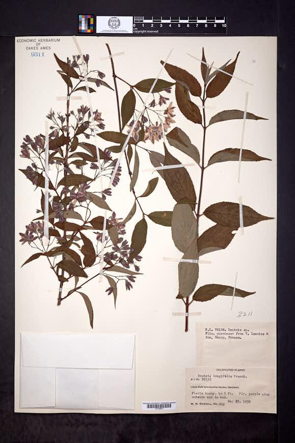 Image of Deutzia longifolia