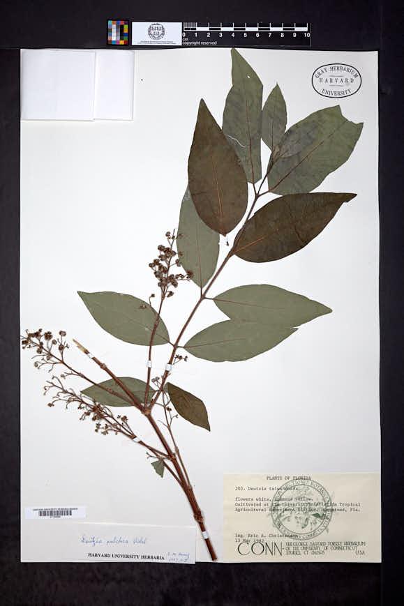 Image of Deutzia pulchra