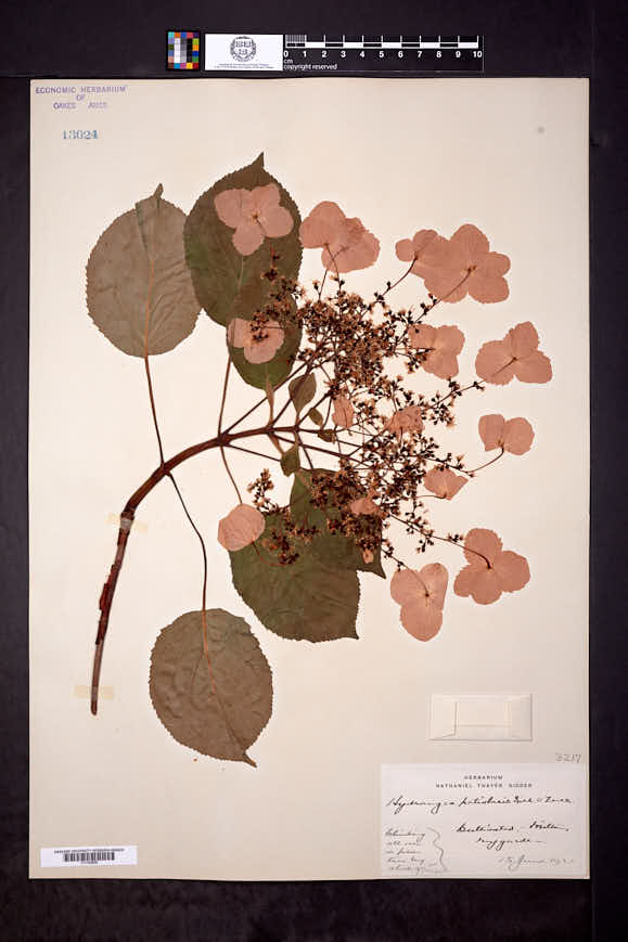 Hydrangea petiolaris image
