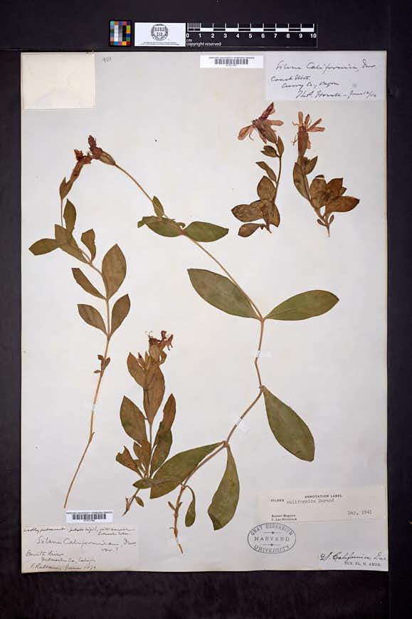Silene californica image