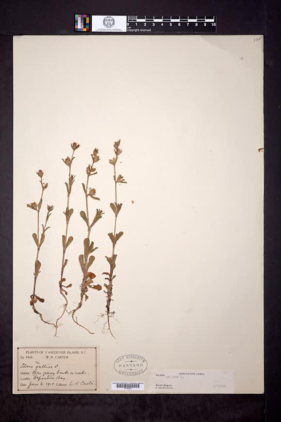 Silene gallica image