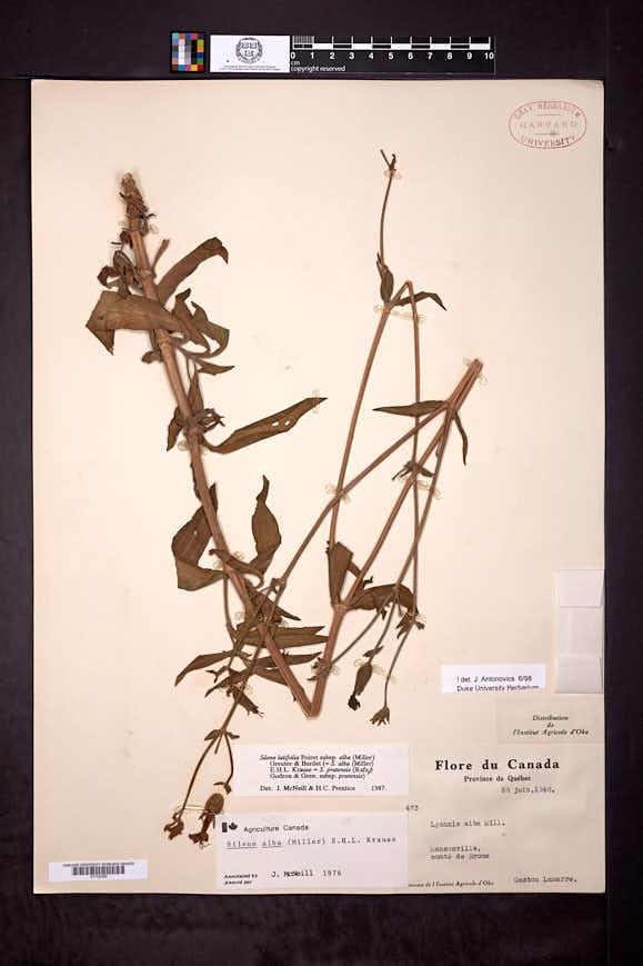 Silene latifolia subsp. alba image