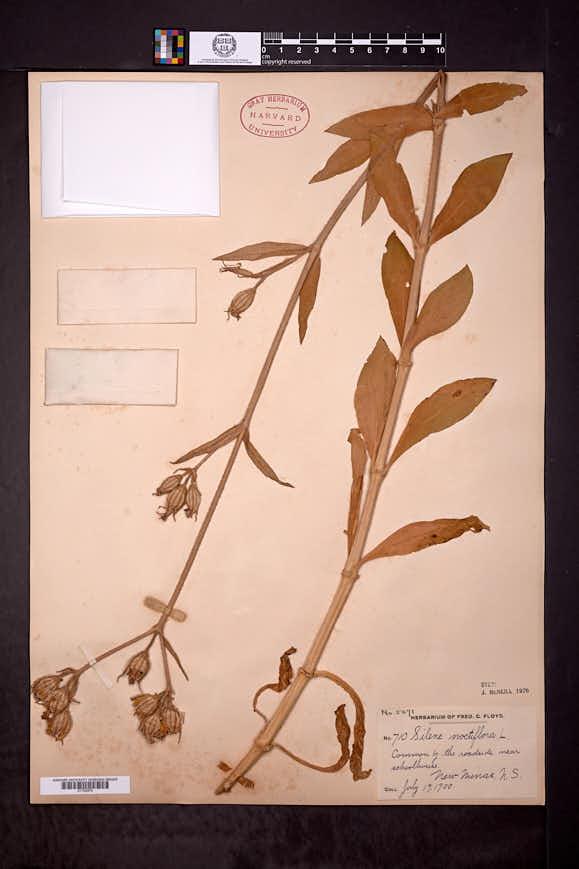 Silene noctiflora image