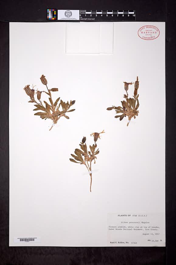 Silene petersonii image