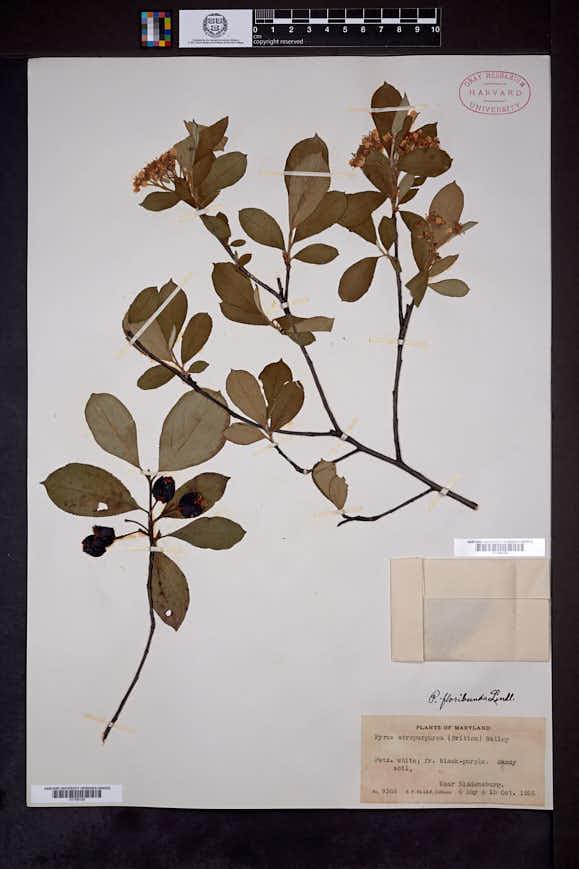 Aronia × prunifolia image