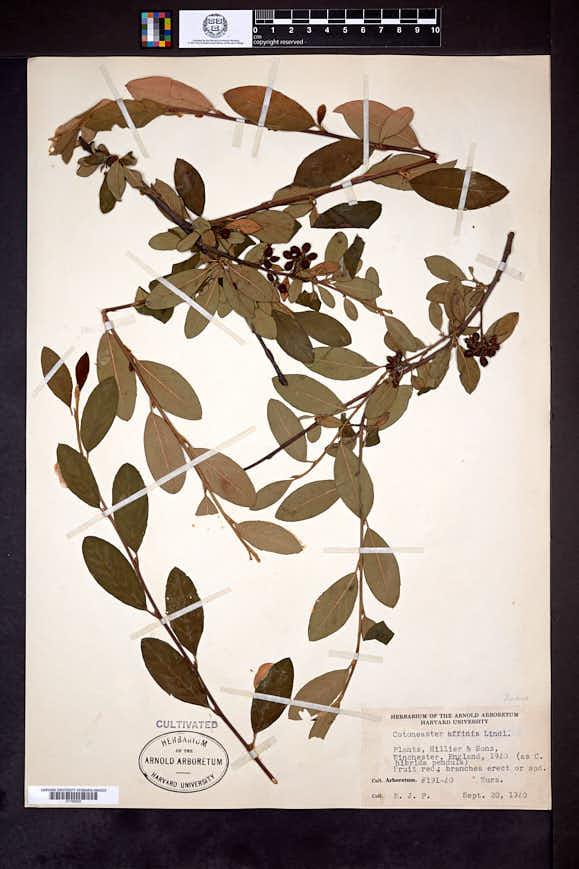 Image of Cotoneaster affinis