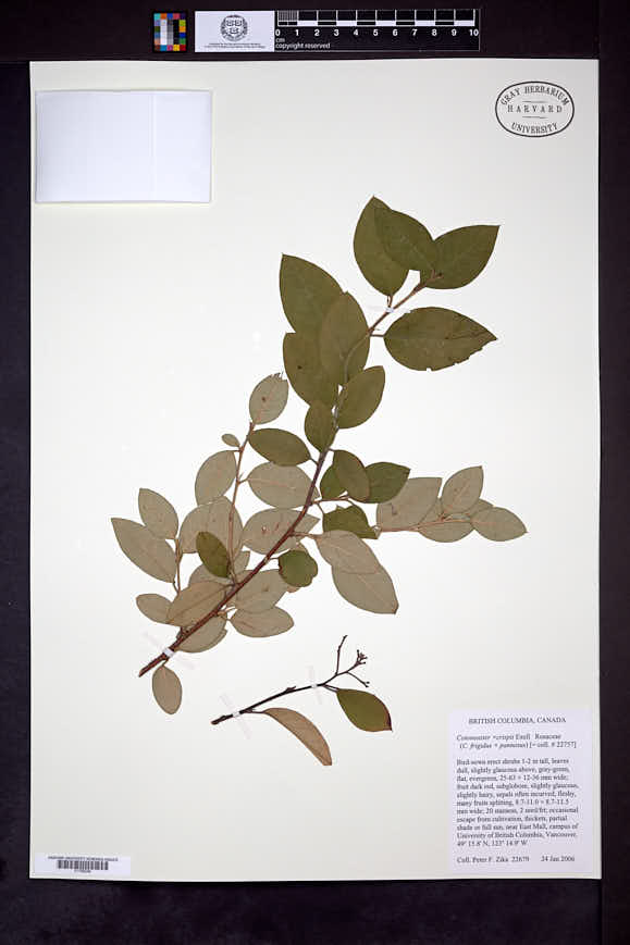 Image of Cotoneaster crispii