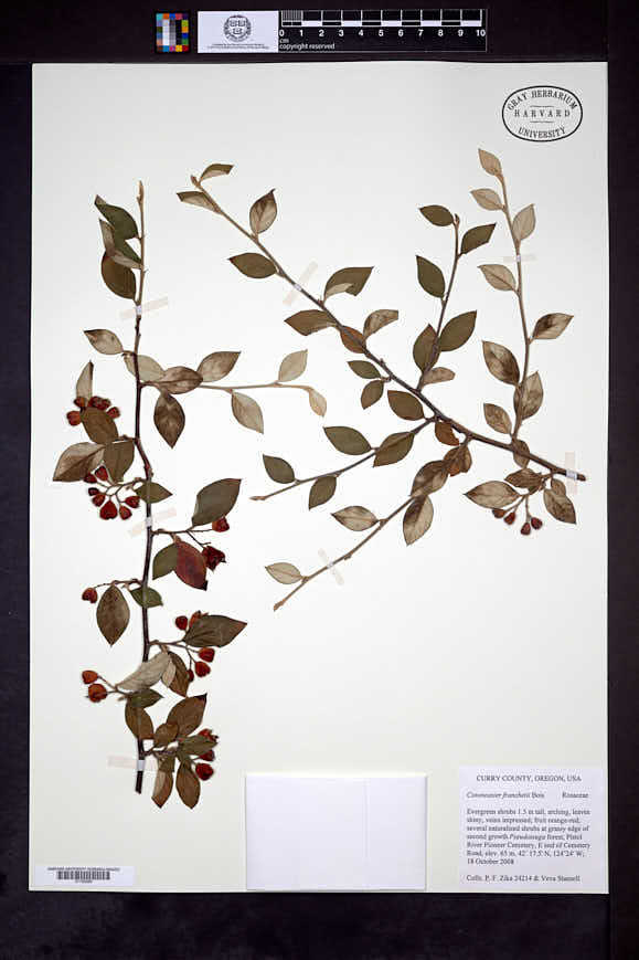 Cotoneaster franchetii image
