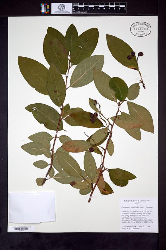 Image of Cotoneaster gamblei