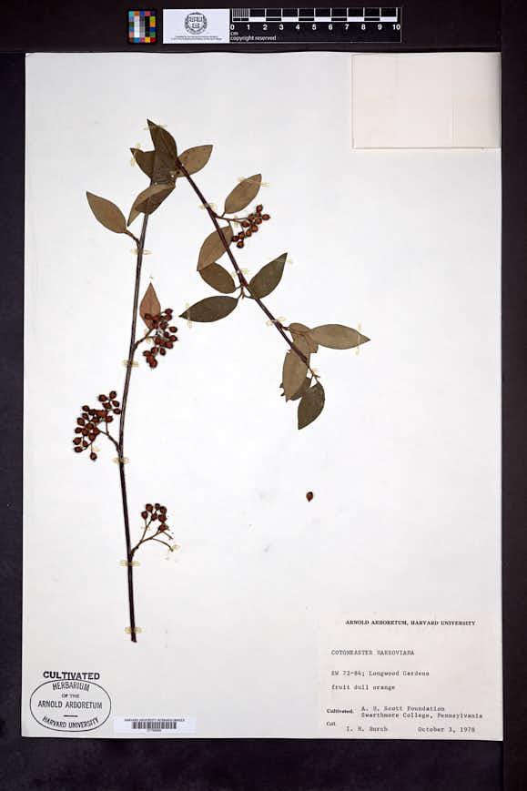 Image of Cotoneaster harrovianus