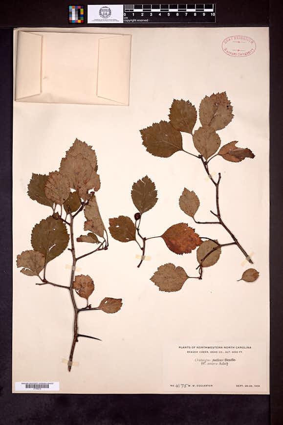 Image of Crataegus amara