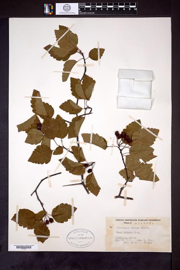 Image of Crataegus ancisa